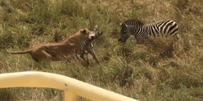 Zebra Mother Saves Her Baby From Lion