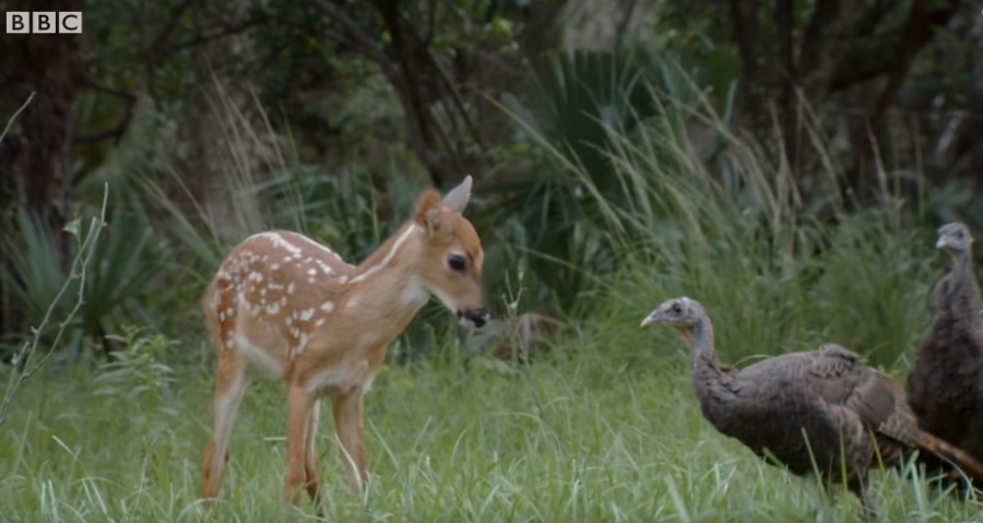 Deer Playing With Wild Turkeys