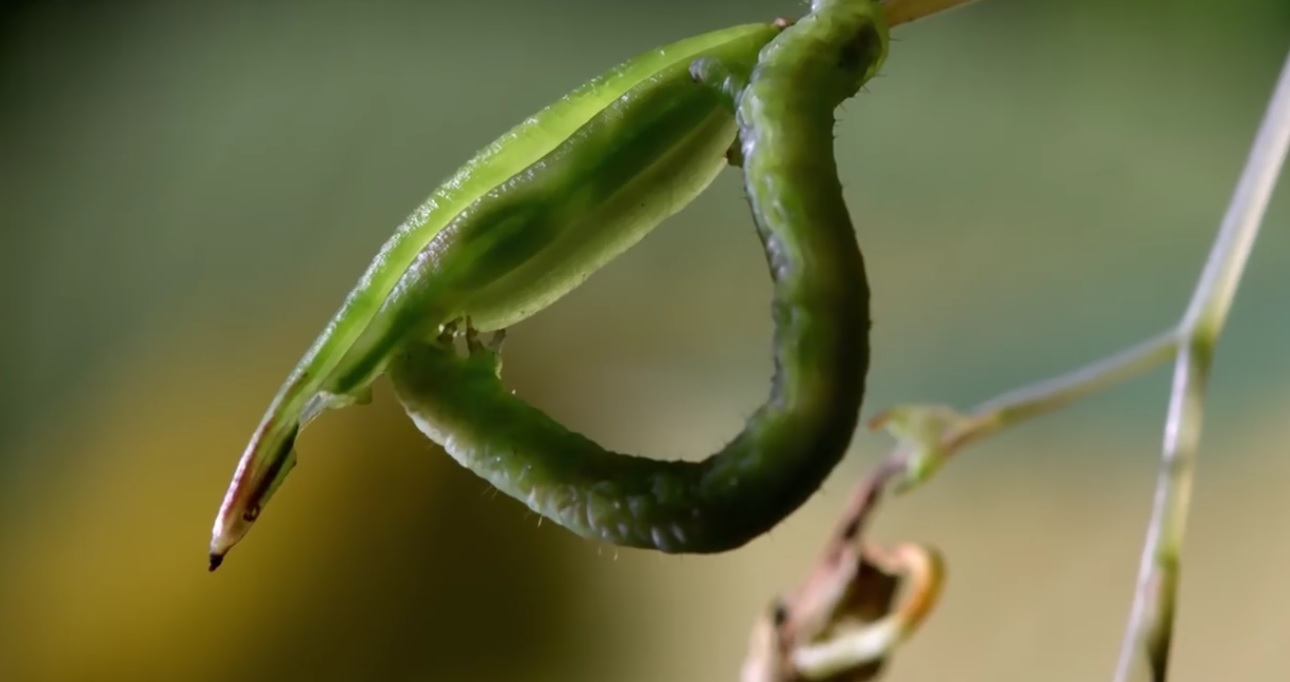 Caterpillars Feed On Exploding Seed Pods