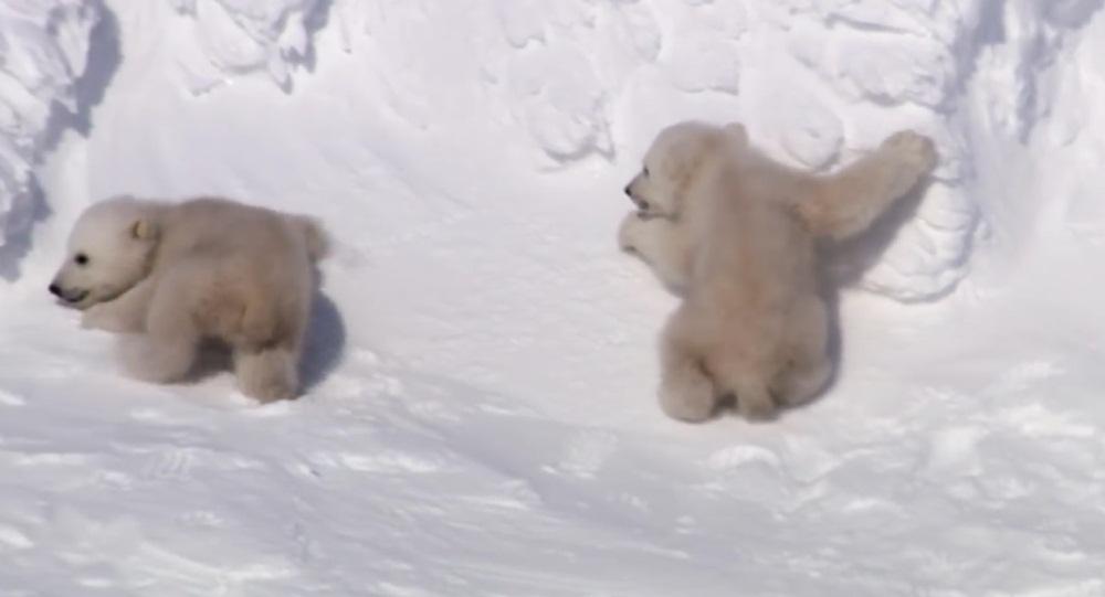 Polar Bear Cubs Taking Their First Steps