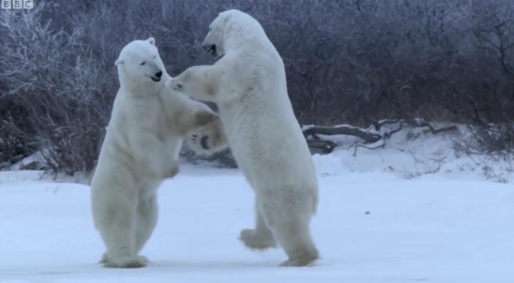 Polar Bears Sparring Match