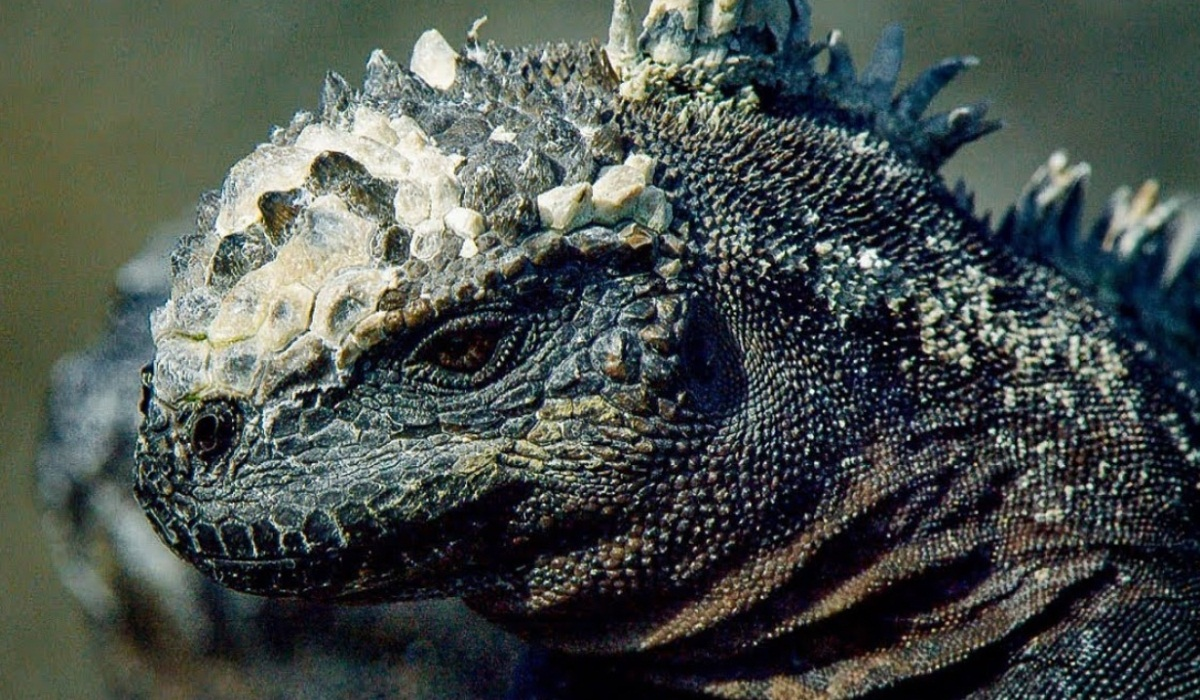 Iguanas Are Changing In Size To Survive Hurricane