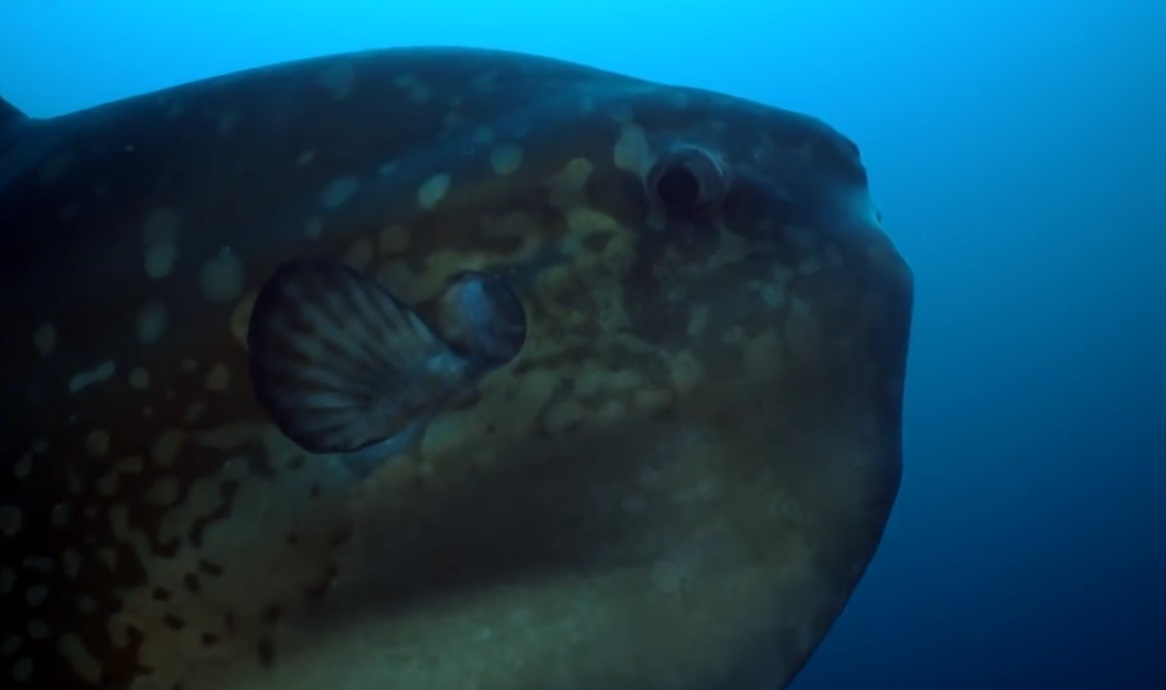Huge Ocean Sunfish Cleaning Itself
