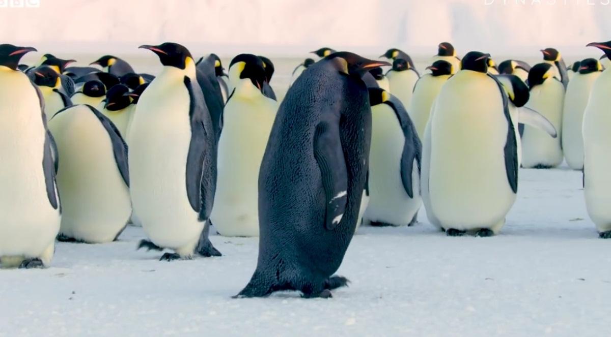 All Black Penguin Rare Sighting