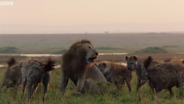 Lion Vs Hyenna Pack