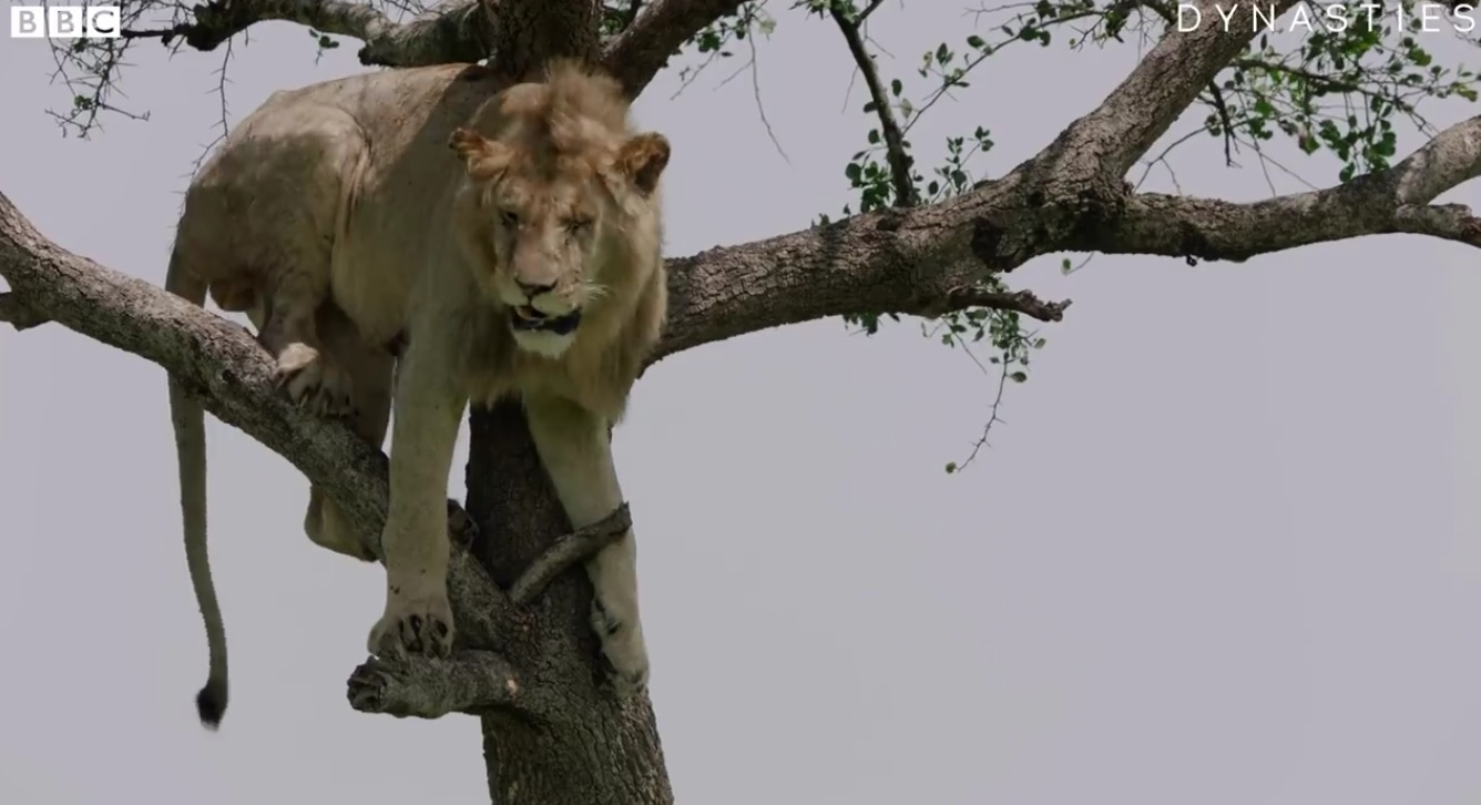 Funny Lion Stuck In A Tree