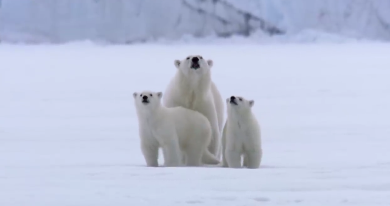 Film Crew Surrounded By Polar Bears