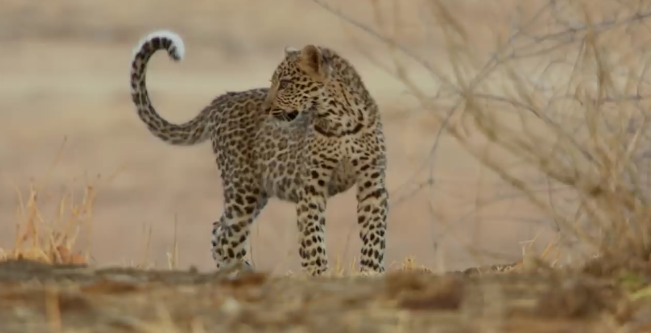 Leopard Cub And His Mother