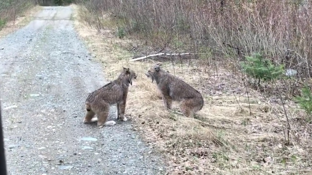 Lynxes Have Intense Conversation