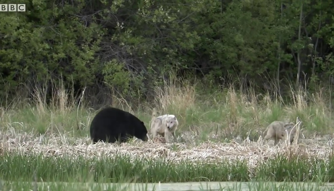 Wolves Distract Bear To Protect Pups