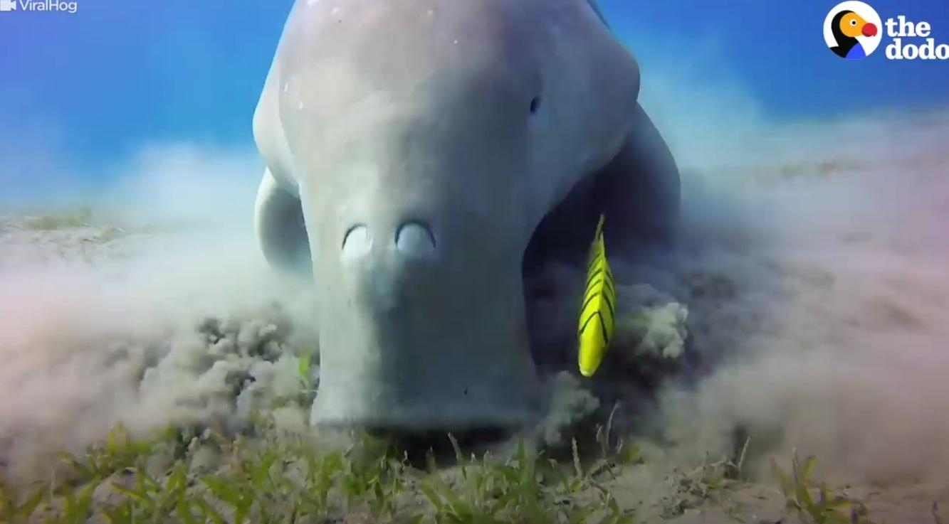 Majestic Snout