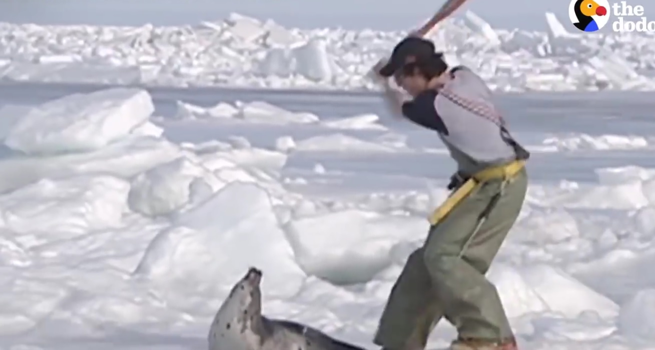 Baby Seals Hunted For Fur