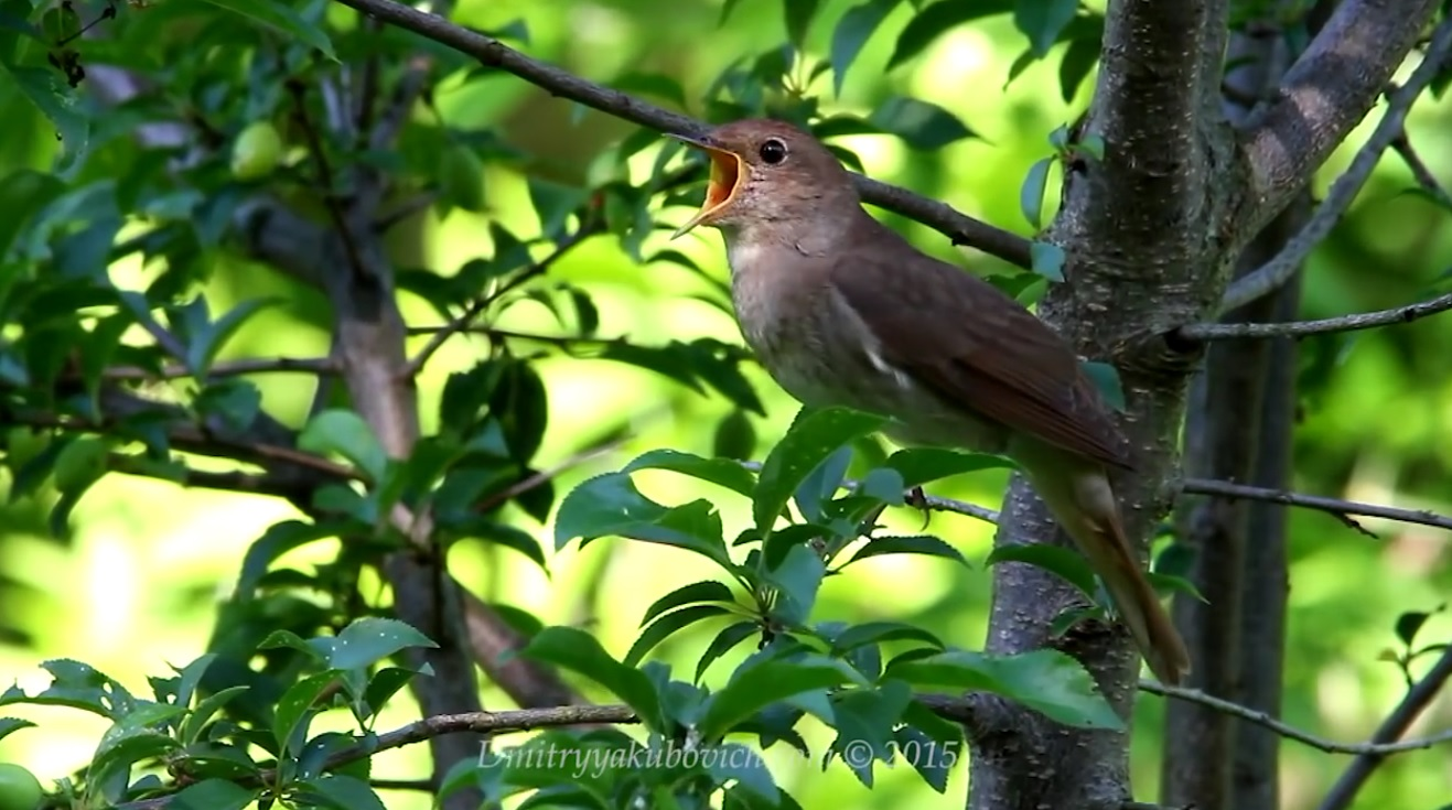Nightingale Sounds On A Spring Day