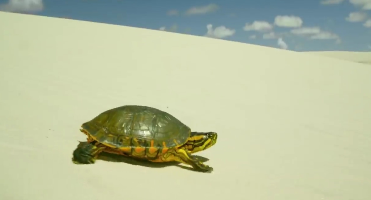 Turtle Travels A Long Way Through Desert