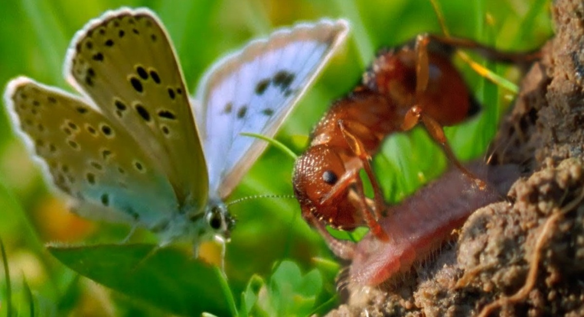 Blue Butterfly Adopted By Ants