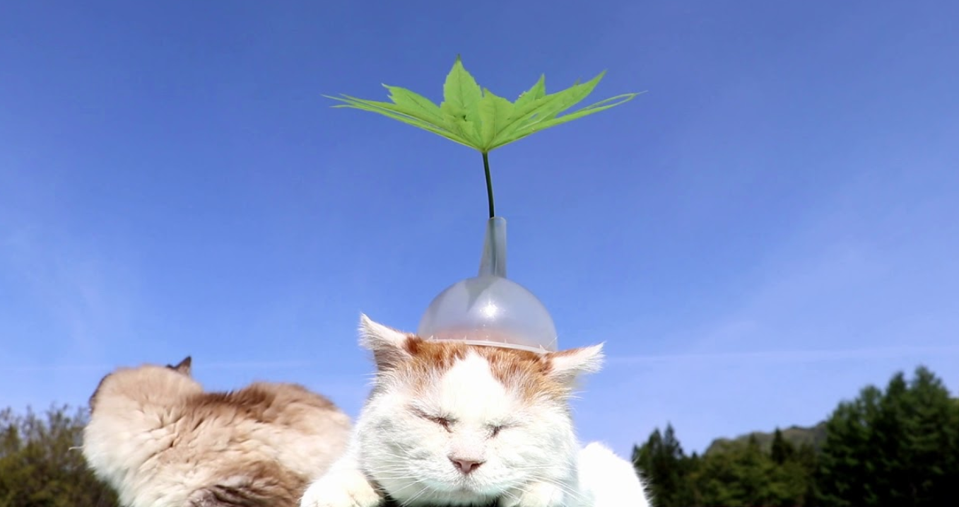 Shiro The Most Chill Cat