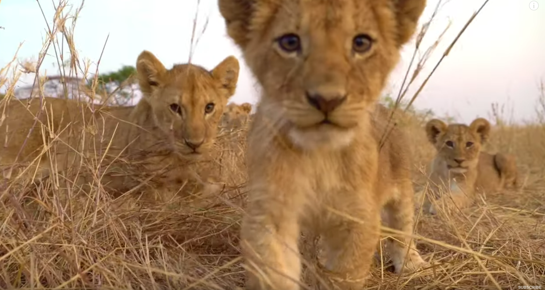 Lion Cubs Playing With Spy Cam