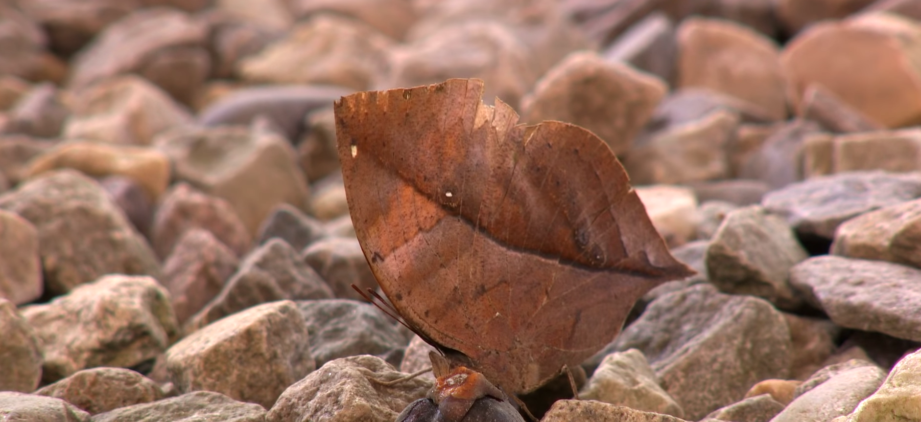 Oakleaf Butterfly - The Master Of Camouflage