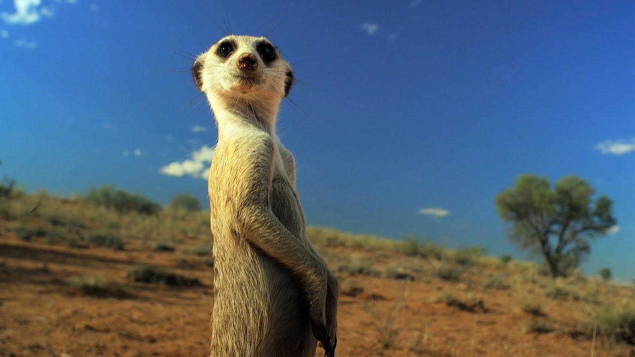 Meerkat Gang Vs Fake Cobra