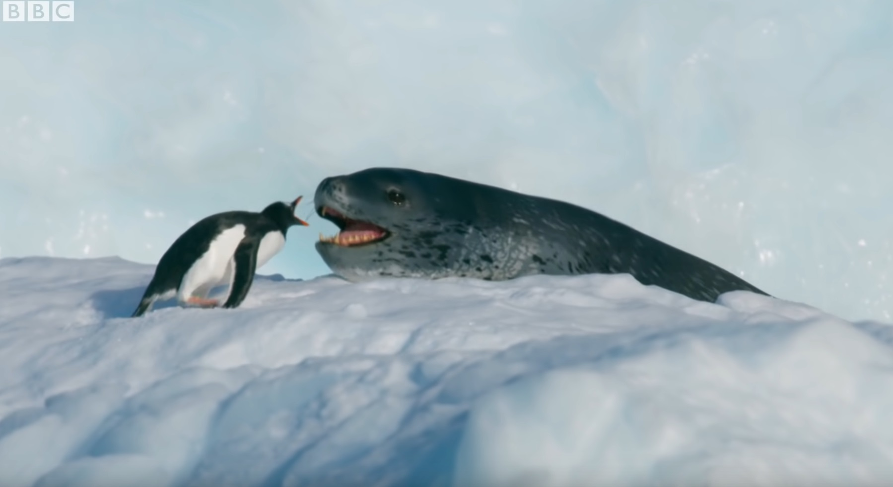 Tiny Penguin Vs Leopard Seal