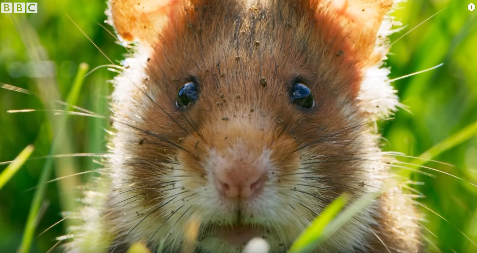 Funny Wild Hamster