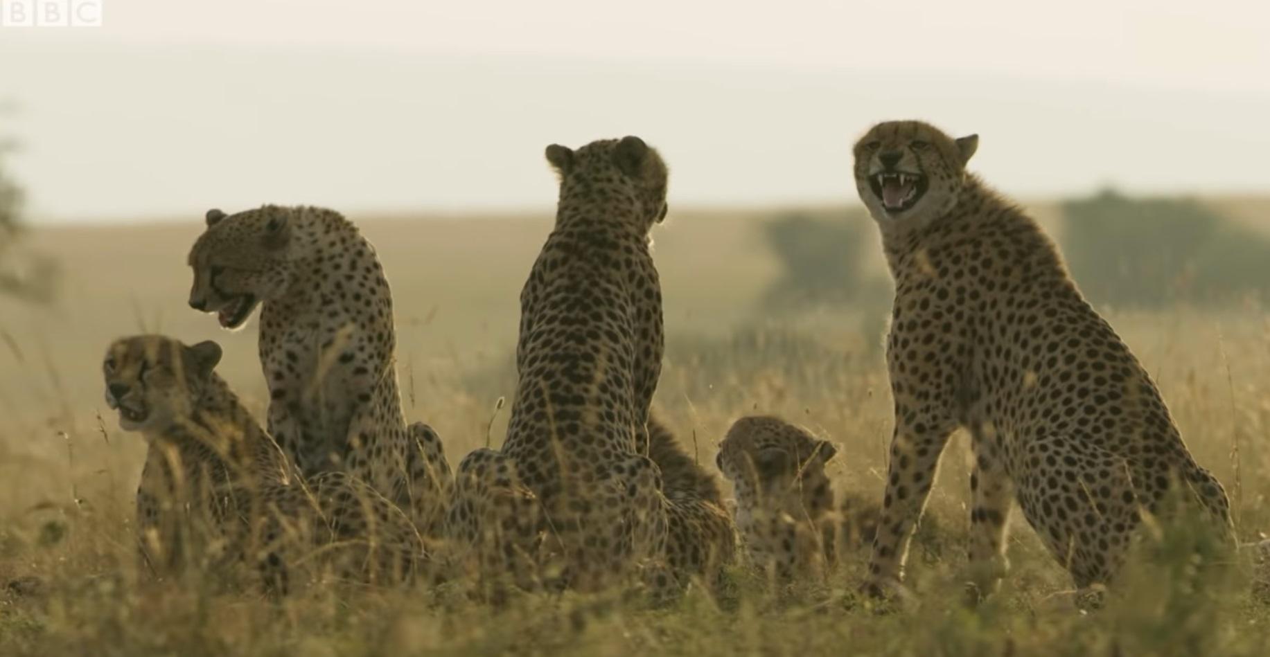 Rare Group Of 8 Cheetah