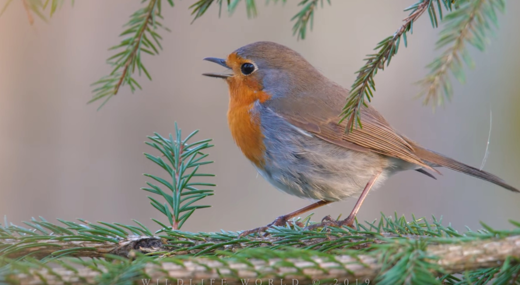 Robin Singing In Spring Forest