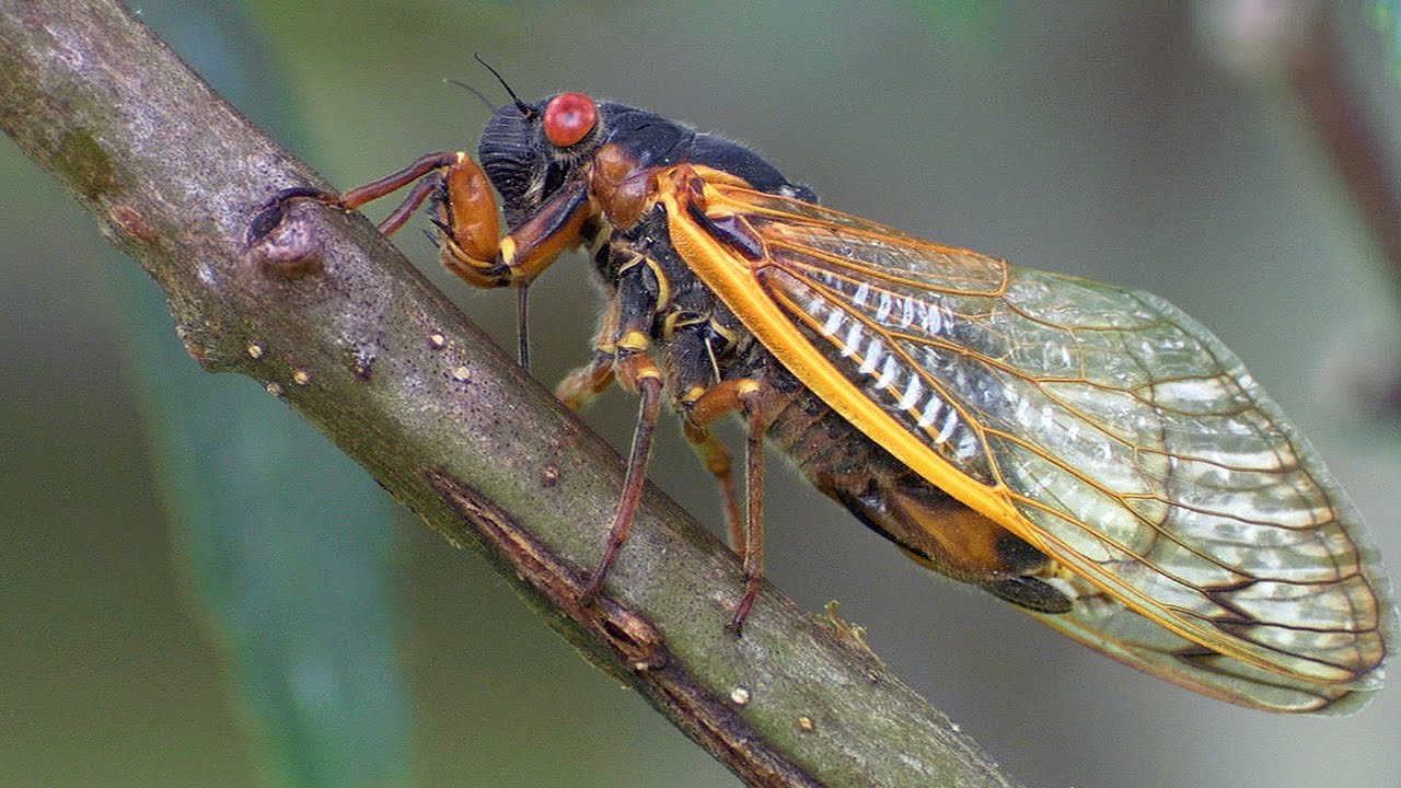Cicadas 17 Year Sleep Cycle