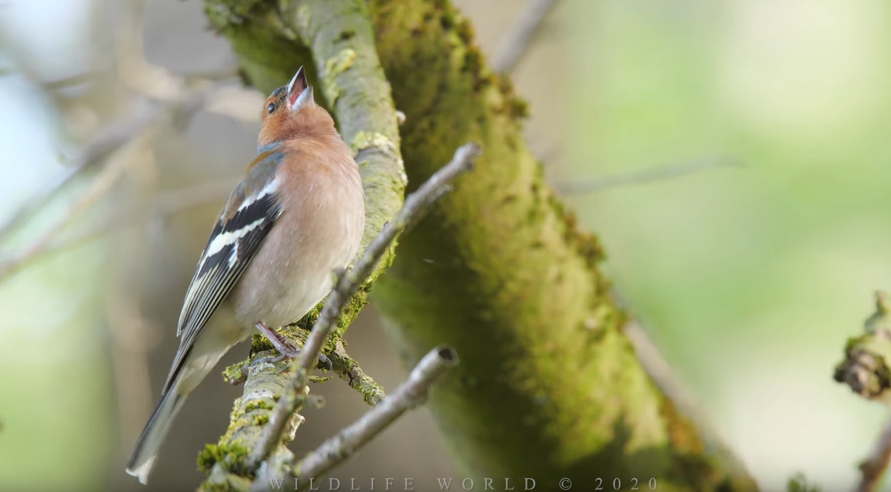 Common Chaffinch Singing