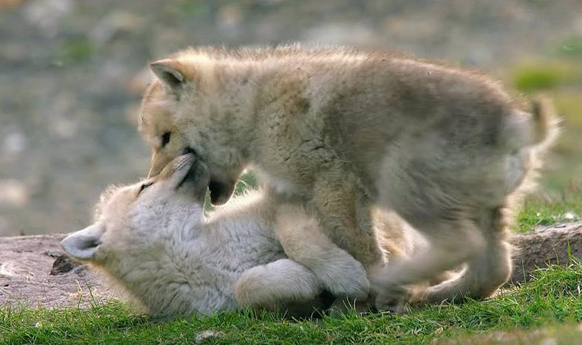 Cute Wolf Pups