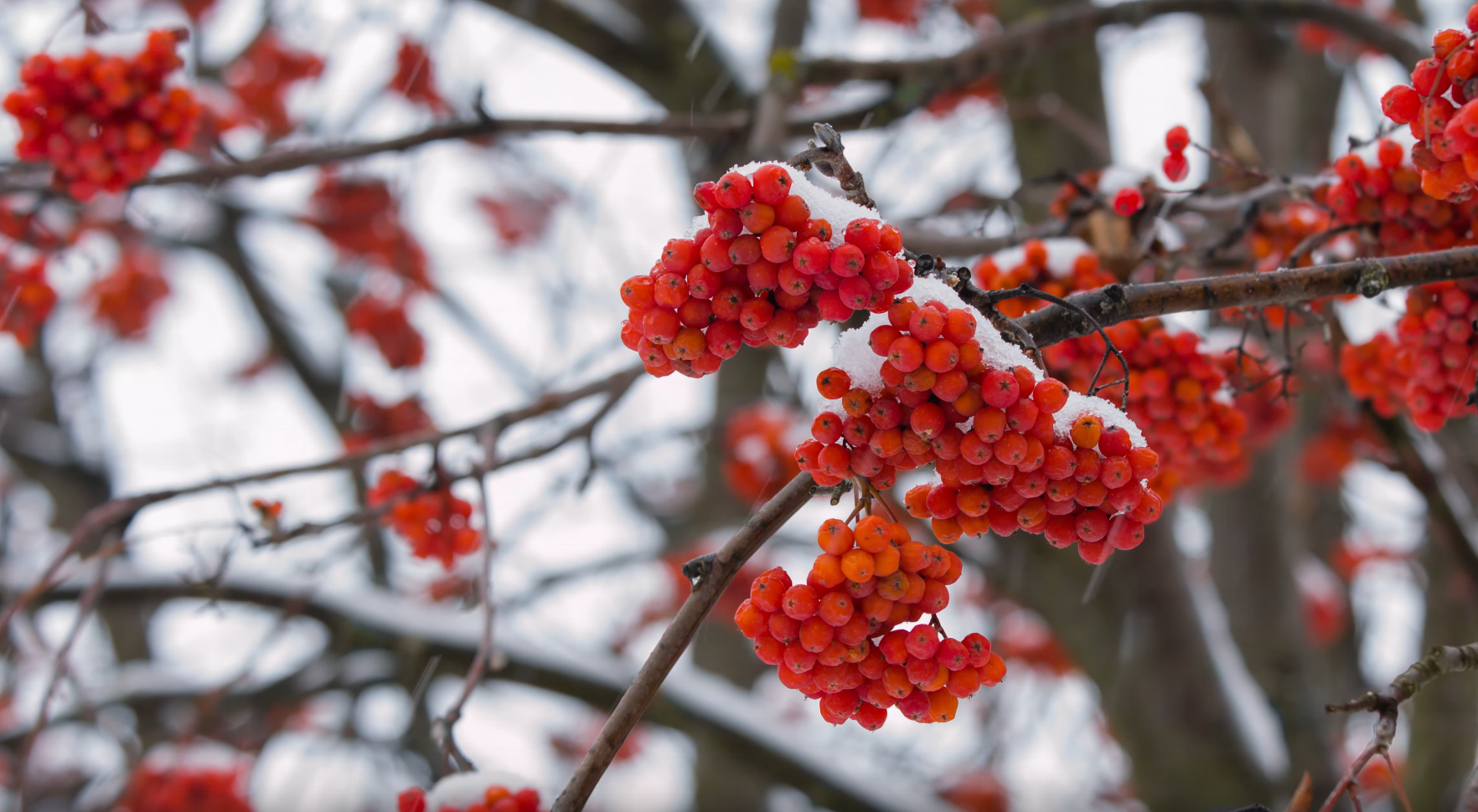Rowan Tree In Snow