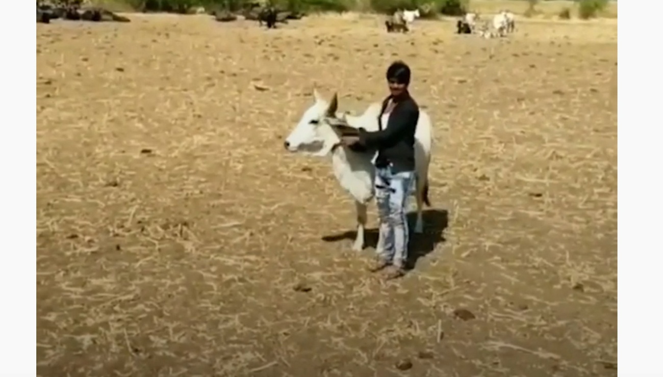 Cow Protects Human