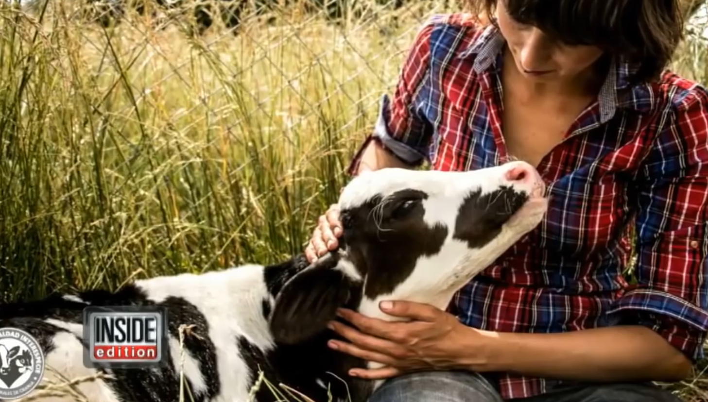 Rescued Dairy Calf Loves Affection