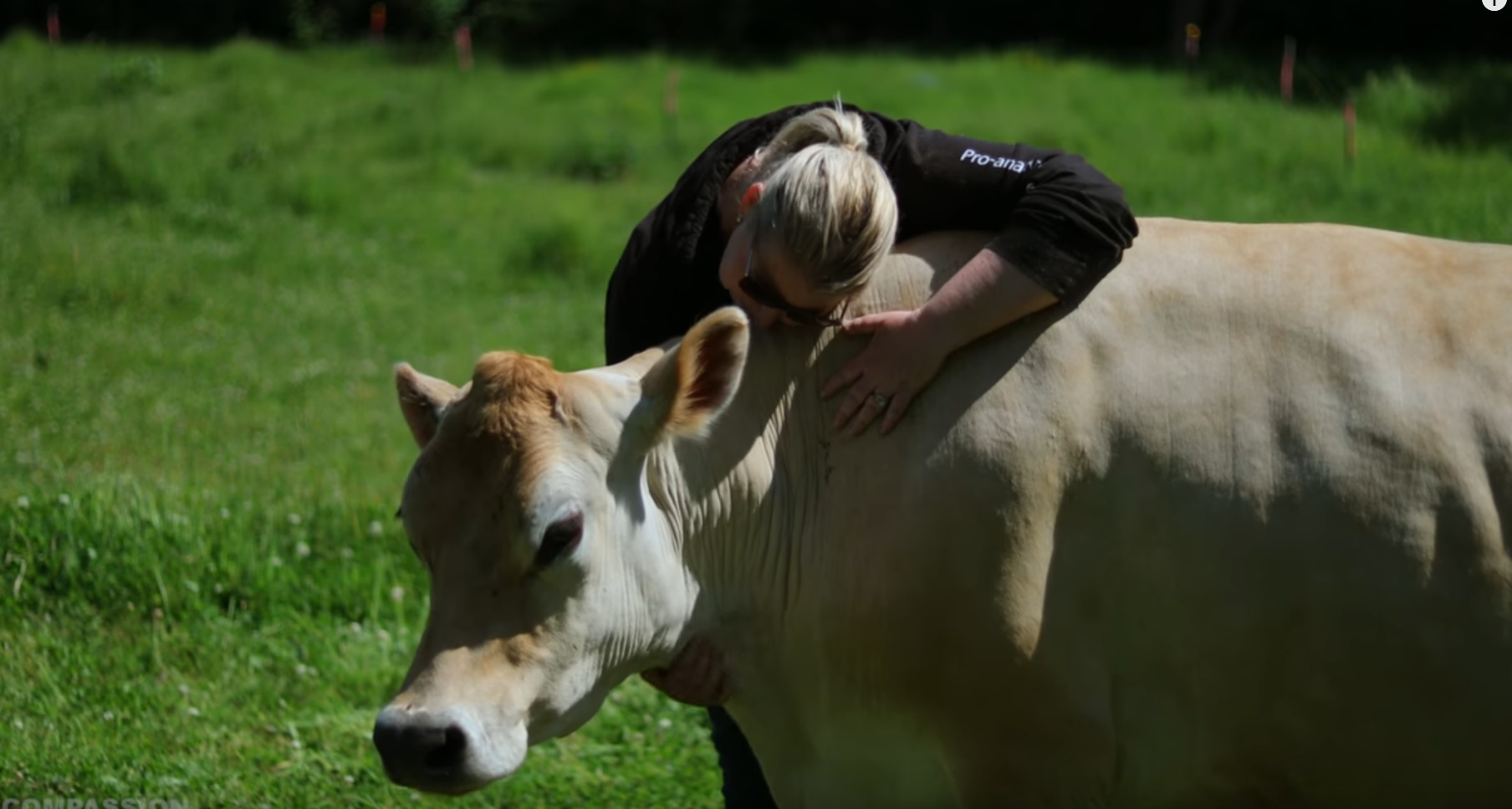 Meet Daisy, The Rescued Dairy Cow