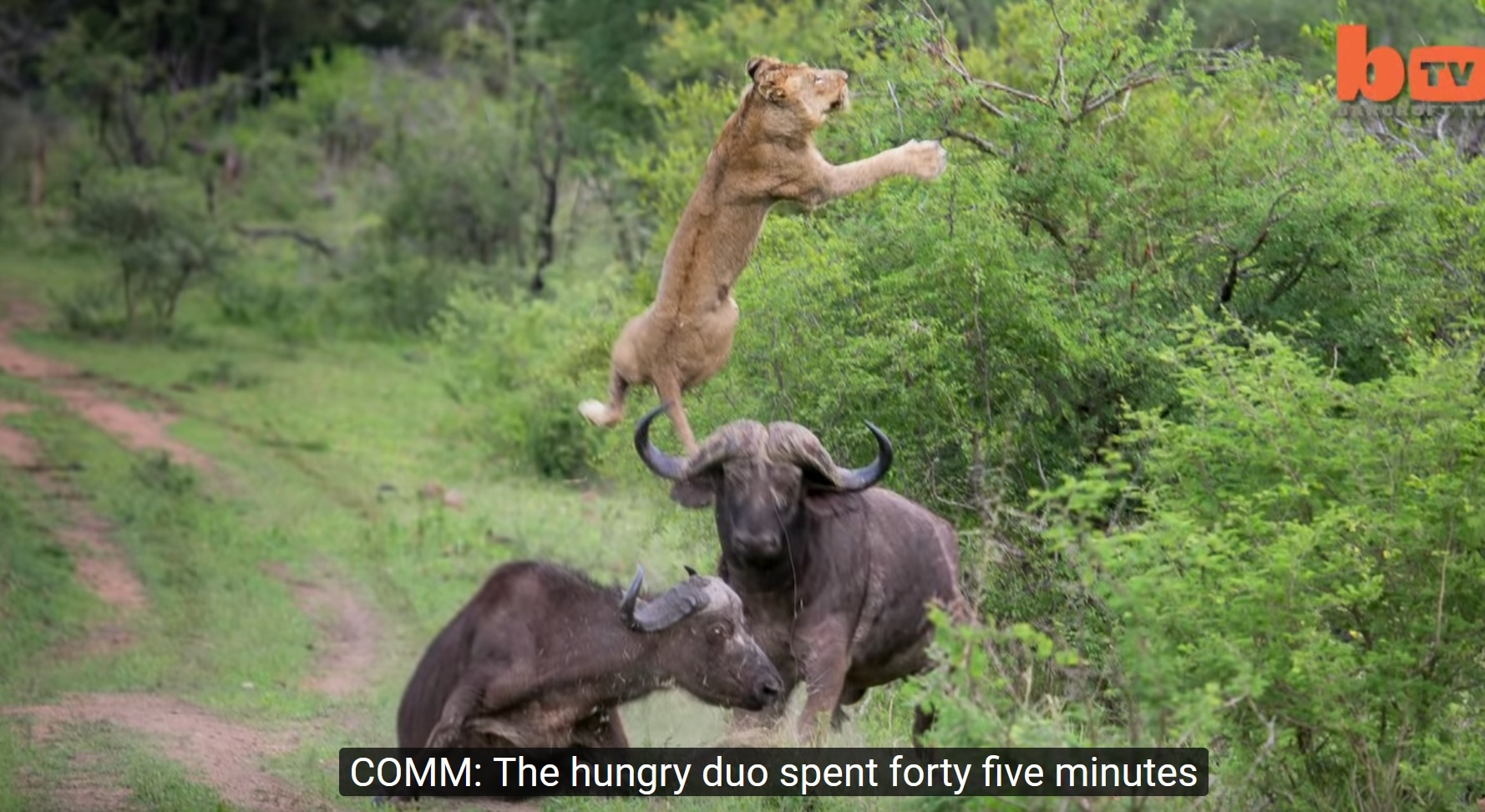 Buffalo Launches Lion Into Air