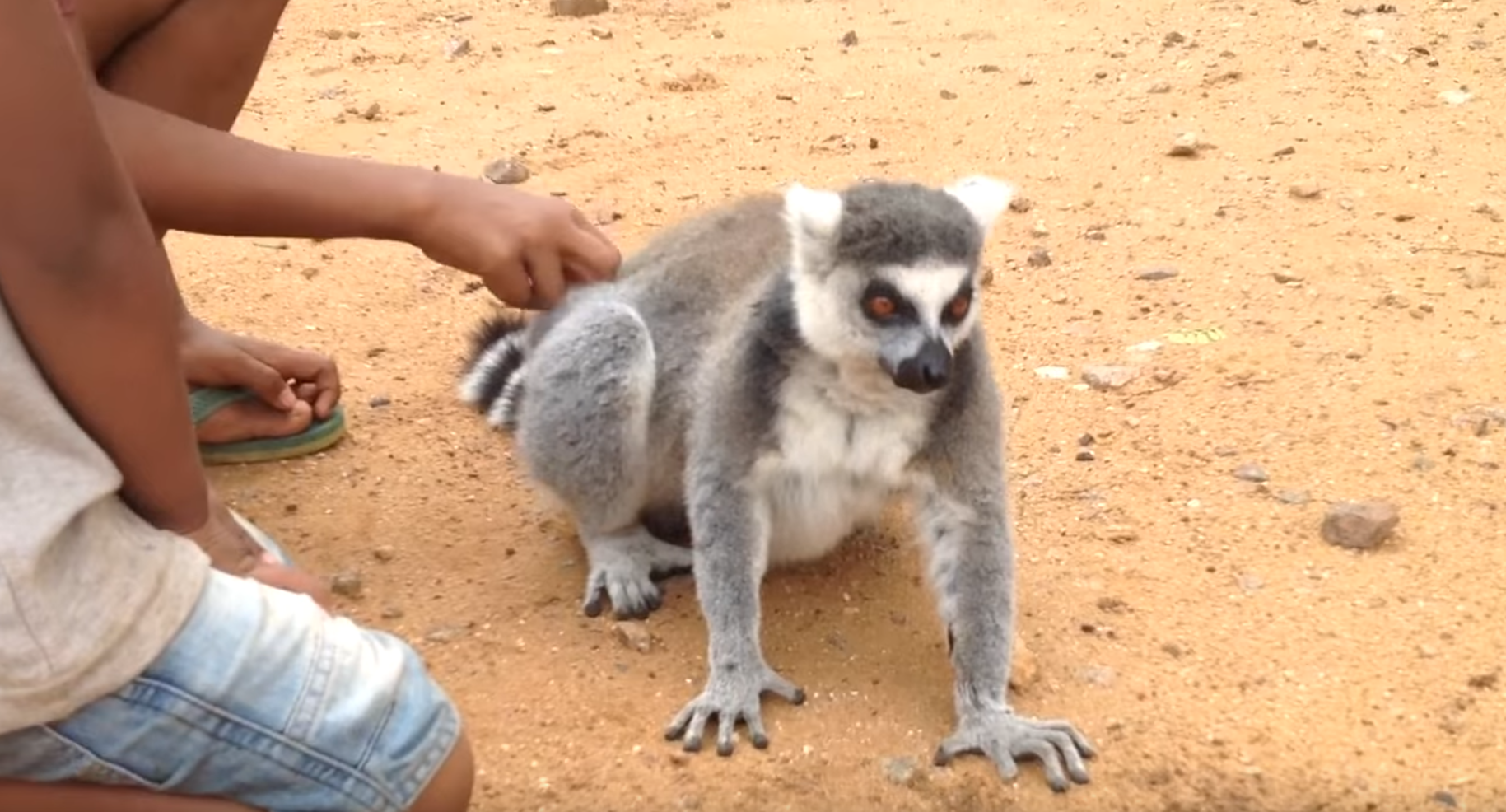 Lemur Wants Back Scratches
