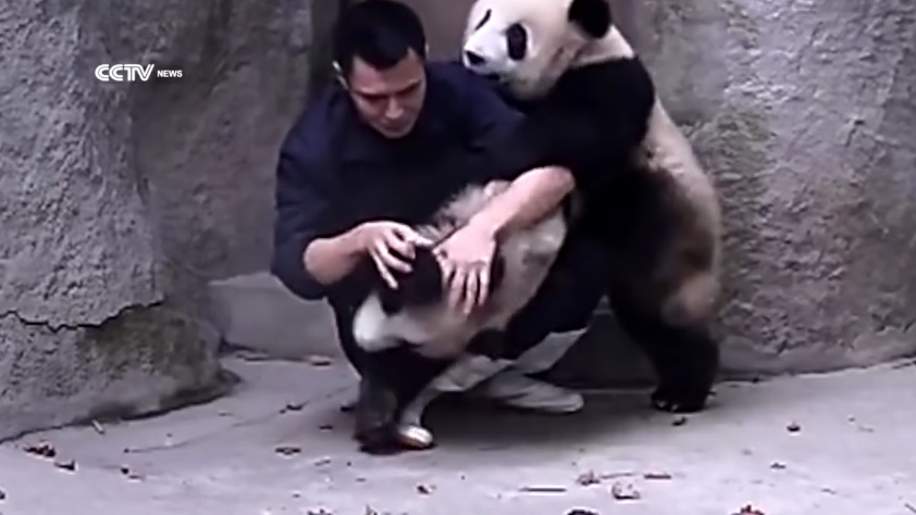 Clingy Pandas Don't Want Their Medicine