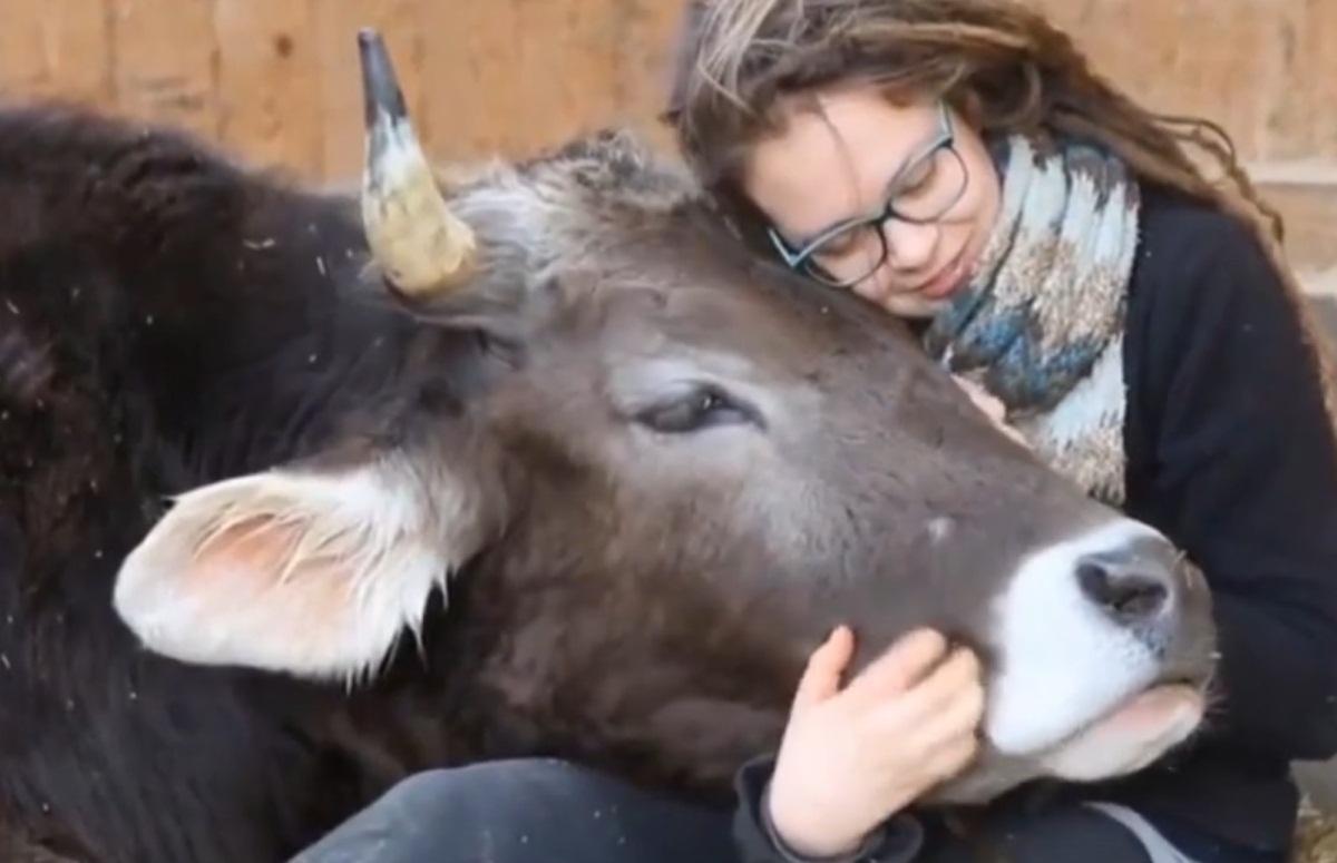 Cows Enjoying Hugs