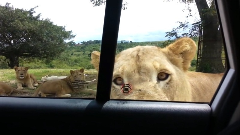 Lion Opens Car Door
