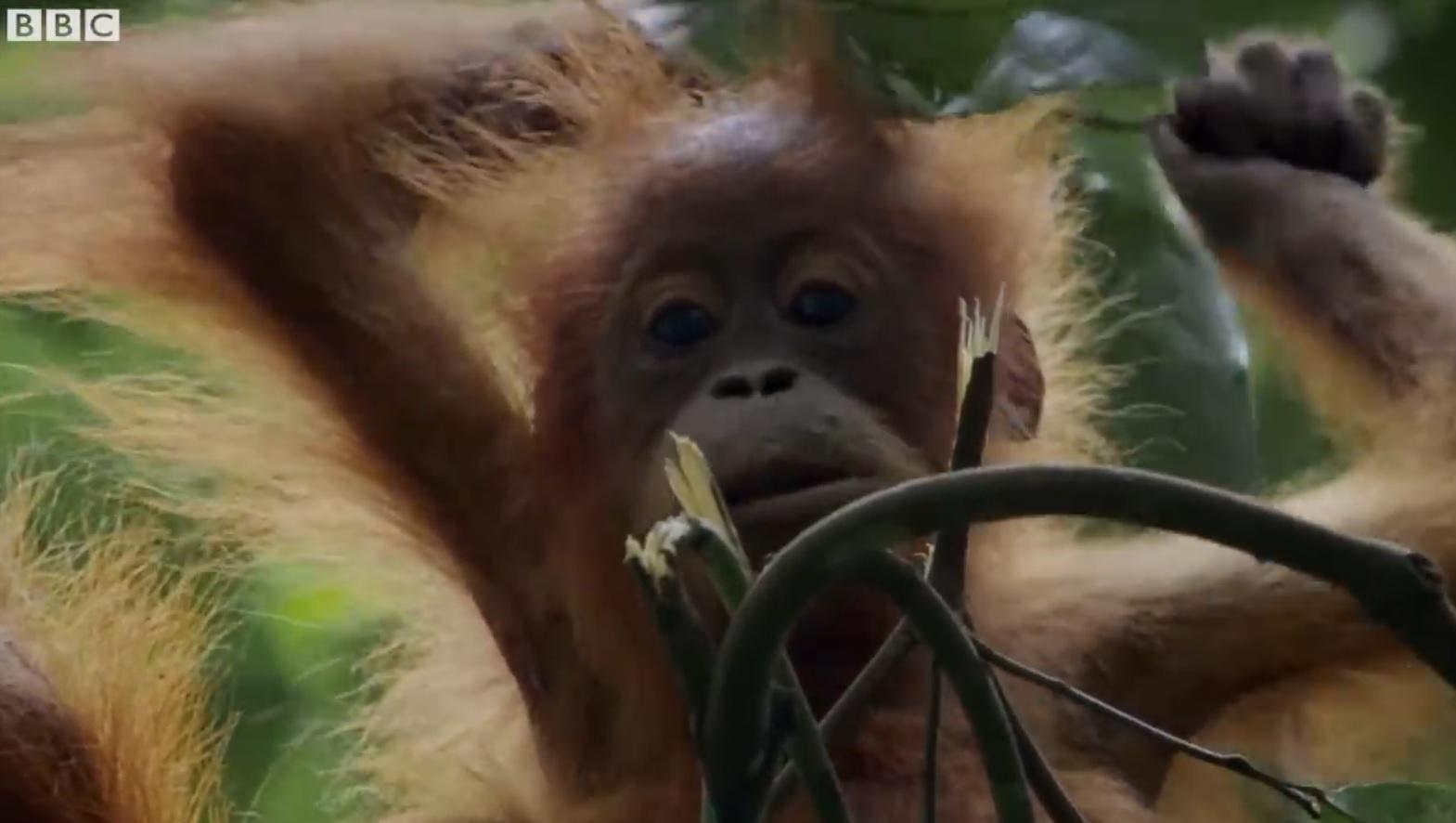 Mother Orangutan Teaching Daugter