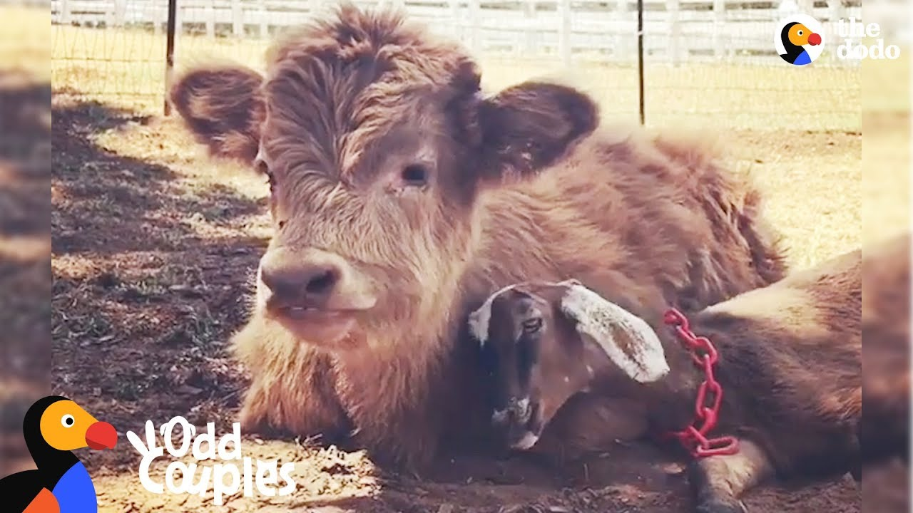 Fluffy Cow Obsessed With Little Goat
