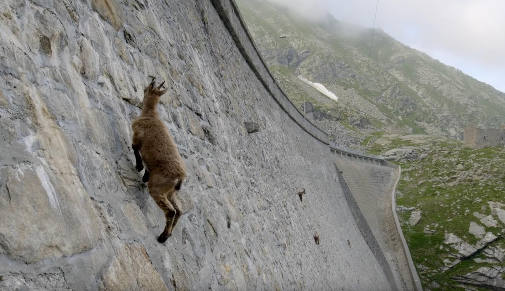 Ibex Defies Gravity