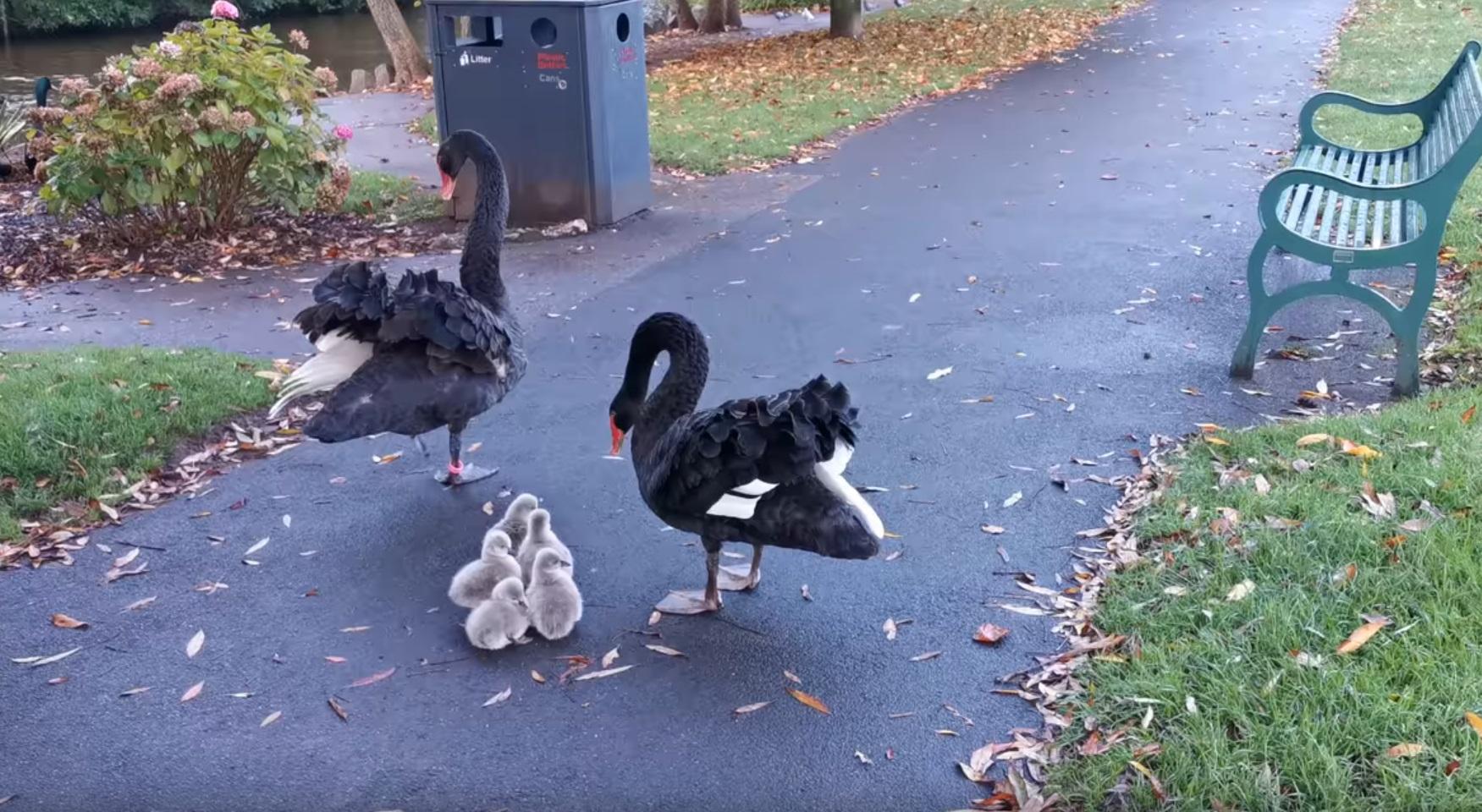 Black Swan Family Enter Waters