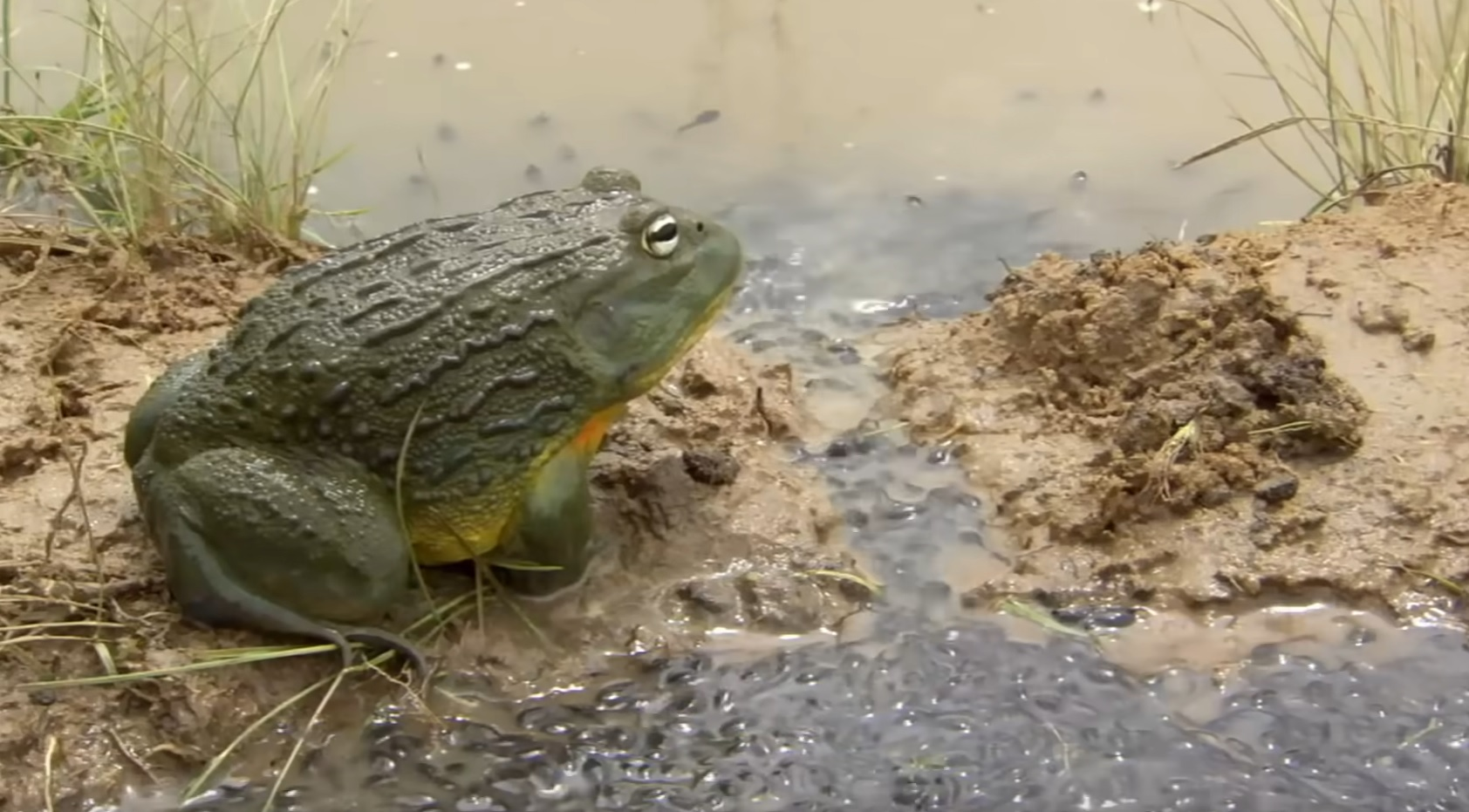 Bullfrog Dad Digs A Channel For His Tadpoles