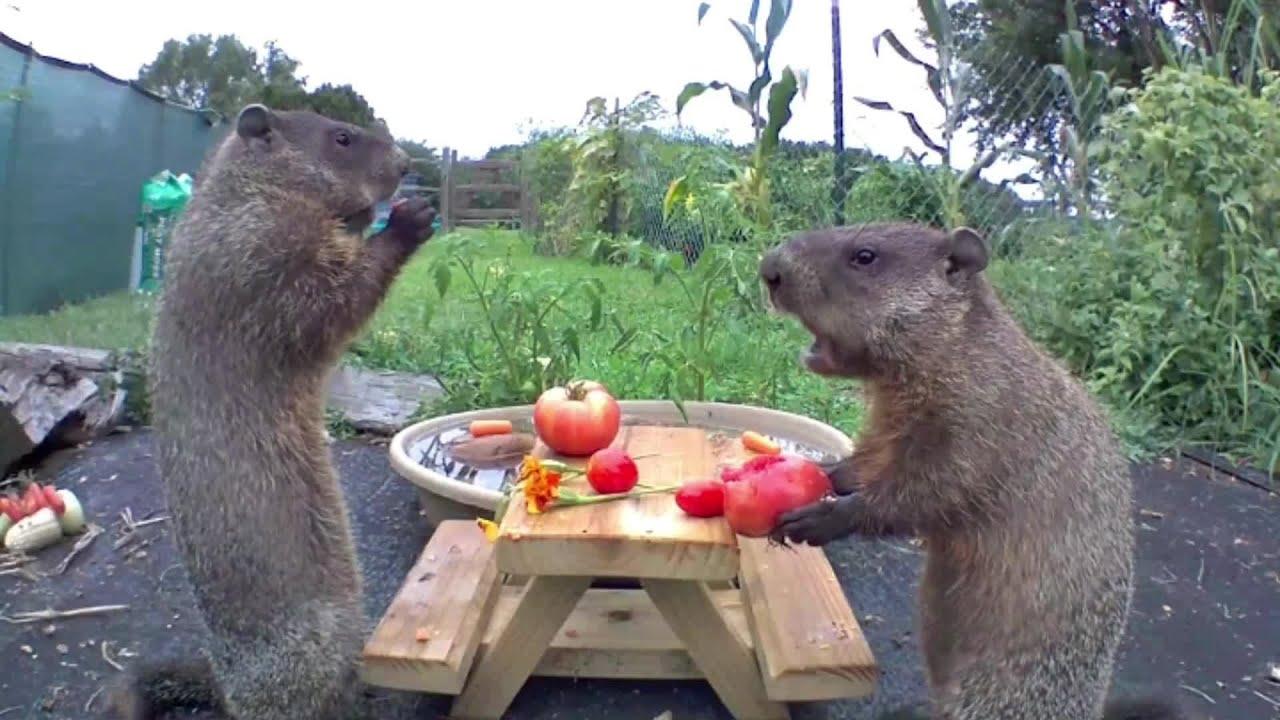 Groundhogs Enjoy Meal Time