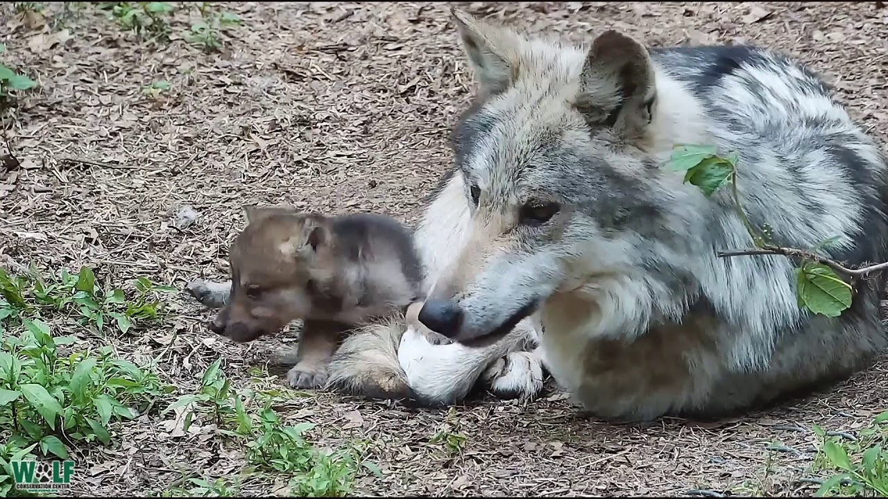 Adorable Wolf Pups Annoying Dad