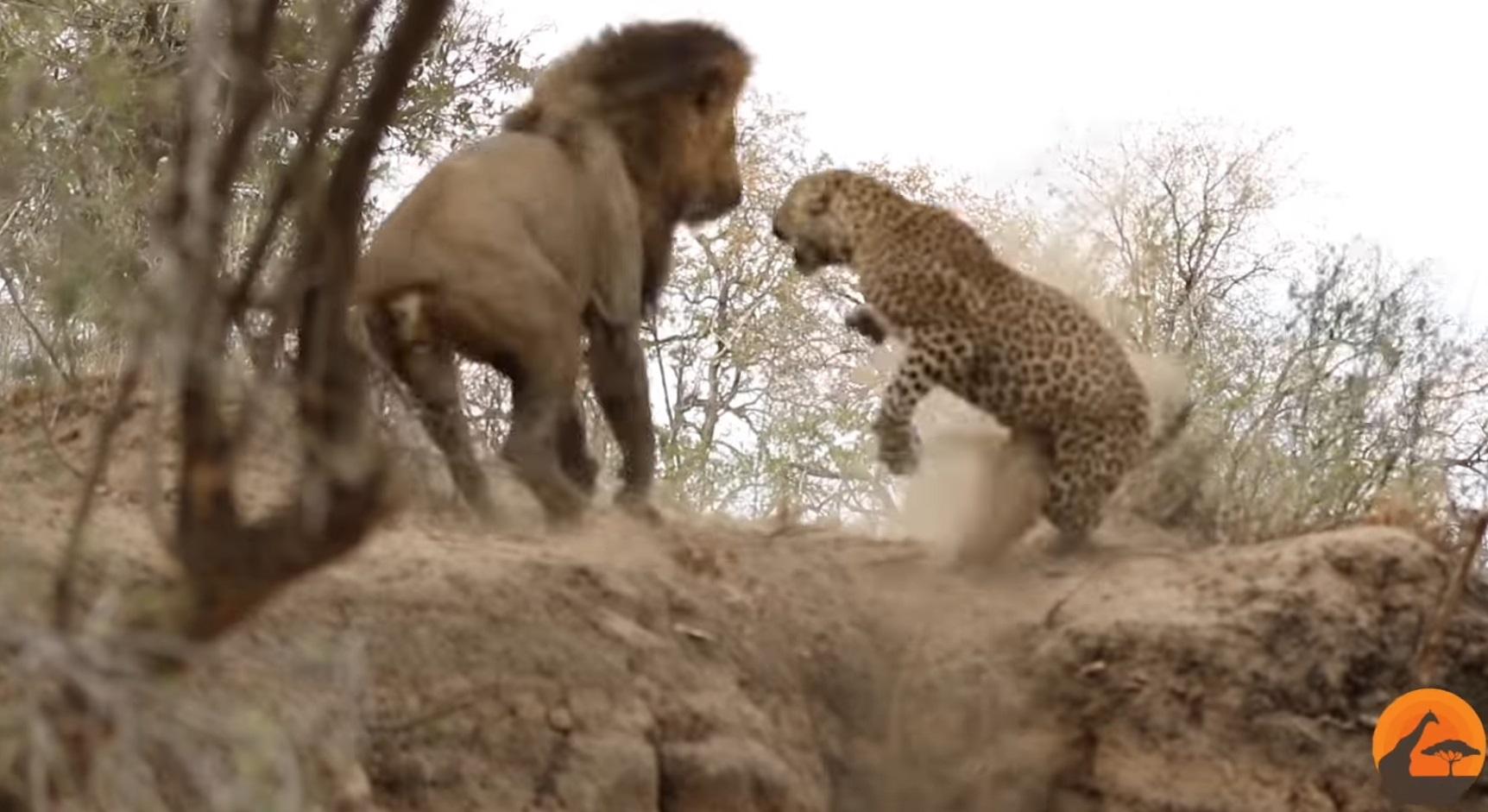 Male Lion Stalks Leopard