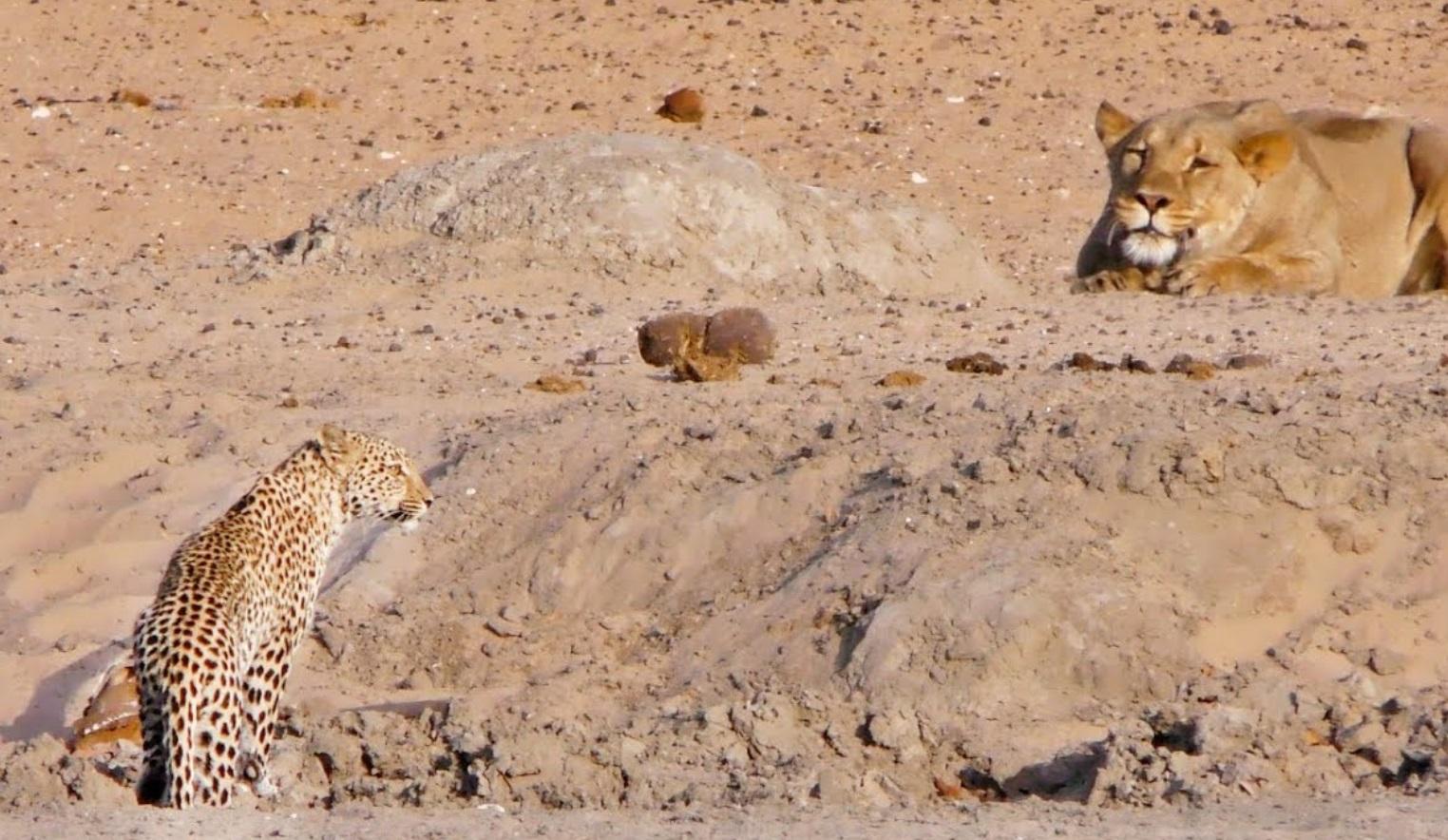 Leopard Walks Into Lion
