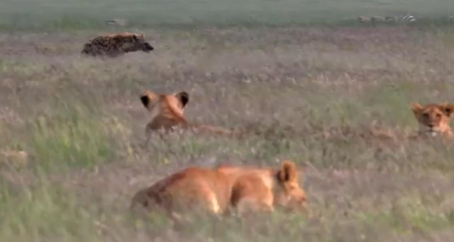 Hyena Attacks Lion & Pays The Priice
