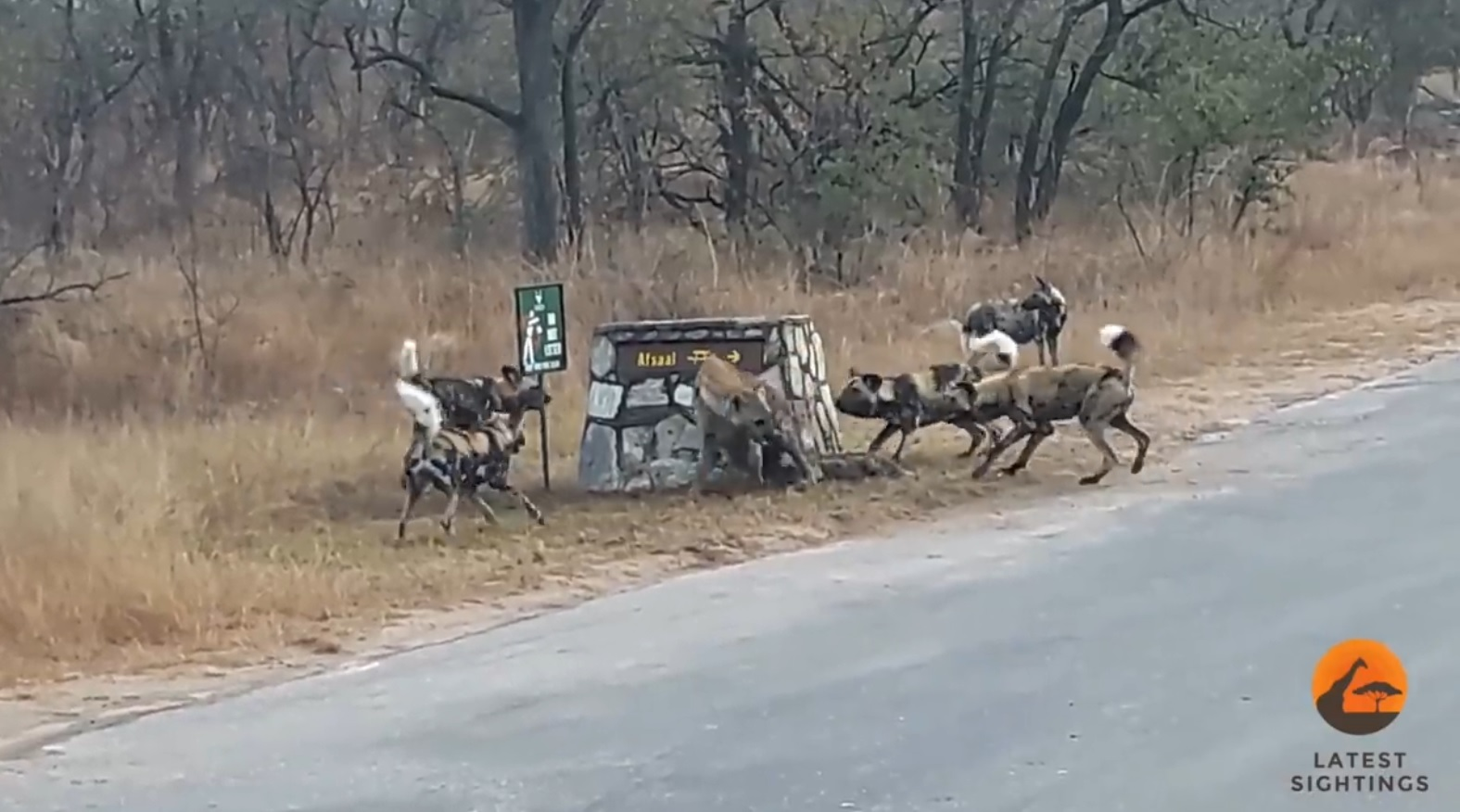 Lone Hyena vs  Wild Dogs